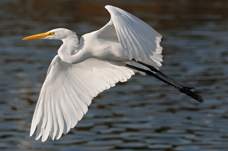 Egret flies